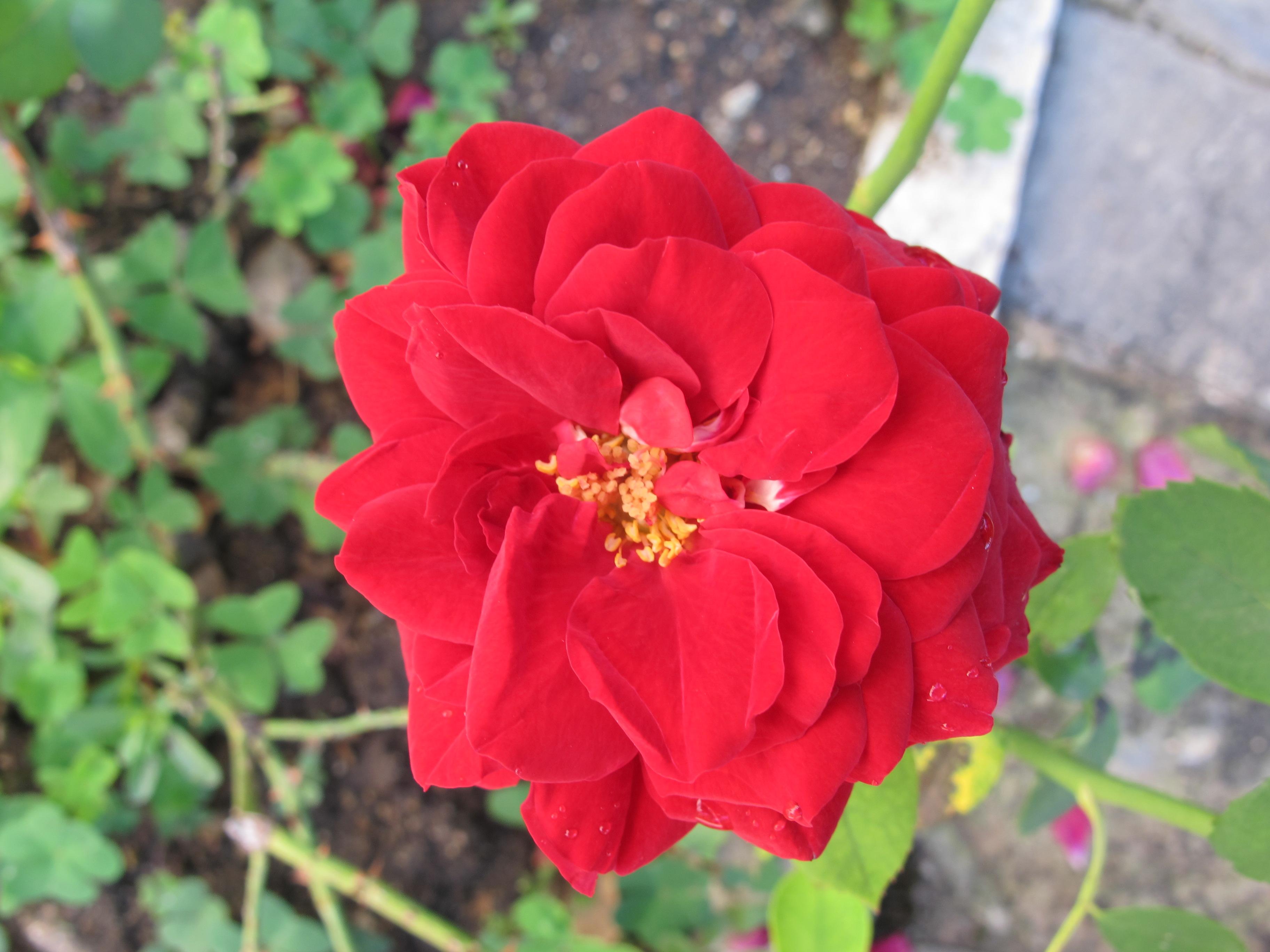 Rose rouge Grasse